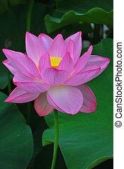 loto, flor, Lleno, Flor