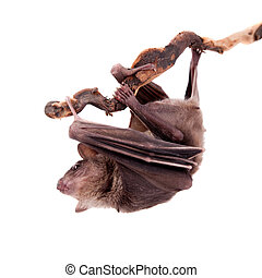Egyptian fruit bat isolated on white - Egyptian fruit bat or...