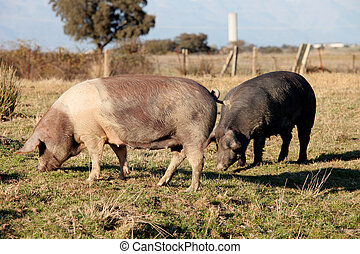 Iberian pig in the field of Spain. - Iberian pig in the...