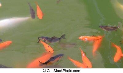 Carp koi in the garden pond