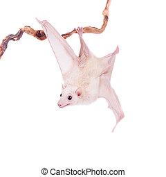 Egyptian fruit bat isolated on white - Egyptian fruit bat or...