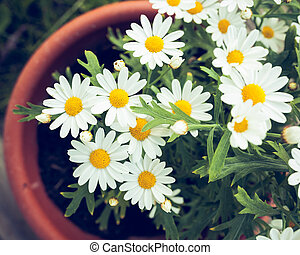 Daisies in a pot viewed from above at home garden