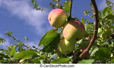 sweet summer end ripe apple on branch in farm garden