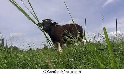 mottled bull graze in pasture meadow surrounded by...