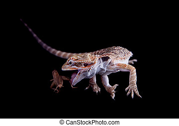 Small bearded dragon catching cricket, isolated on black -...