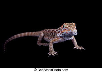 Small bearded dragon isolated on black - Small bearded...