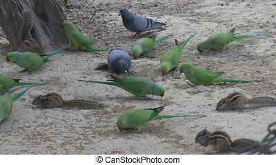green parrots and pigeons in park eating grain bird food,...