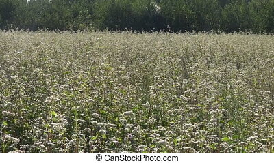 blossoming buckwheat field