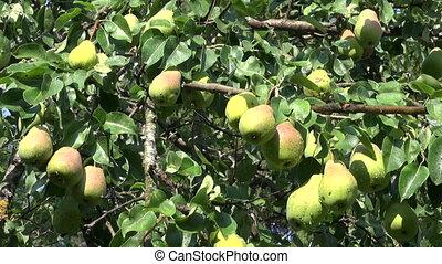 wet sweet ripe pears on tree branch