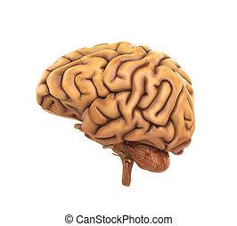 Human Brain Anatomy Illustration. 3D render