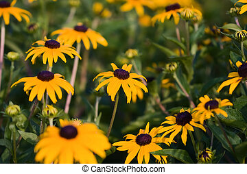 A field of Black Eyed Susans. - A spring field of Black Eyed...