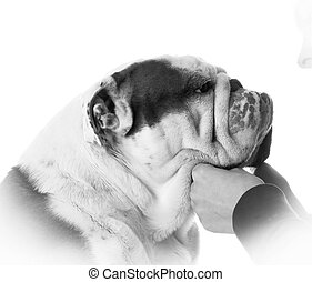mans best friend - woman holding bulldogs face on white...