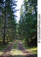 Tracks in a coniferous forest
