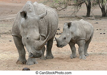Rhino mum and baby - Mom rhino and her baby in the wild