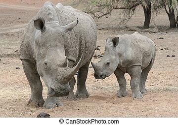 Rhino mum and baby - Mom rhino and her baby in the wild
