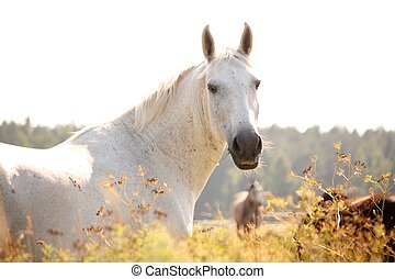 Beautiful white horse portrait in sunset