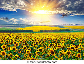 Sunflower field at the morning - Sunflower field against the...