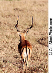 Impala Aepyceros melampus grazing in the beautiful reserve...