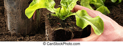 Seeding of lettuce - Gardener's hand holding seeding of...