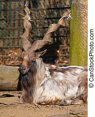 Markhor wild goat lying in the zoo, Capra falconeri heptneri