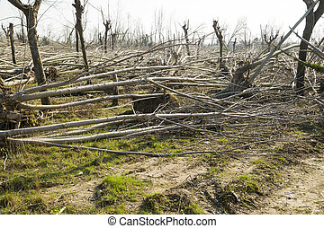 Strong wind - Devastation of tall trees following a...