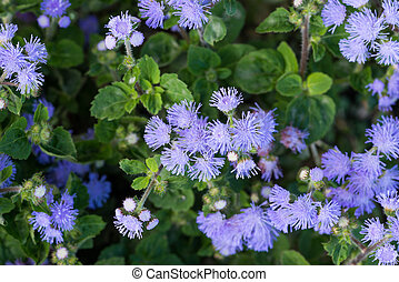 Beautiful bluish violet Ageratum in the flower bed - Floss...