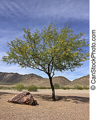 Mesquite tree in Arizona desert - Flowering Mesquite tree in...
