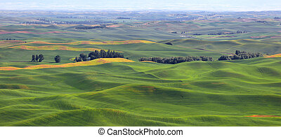 Wheat fields on rolling hills