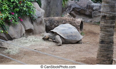 The Giant Galapagos Tortoise, here next to a tree, is the...