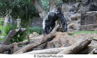 Isolated Gorilla sitting on a log