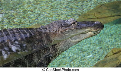 Alligator in park crocodile aquarium