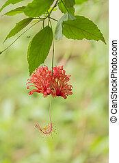 A hibiscus schizopetalus flower is hanging