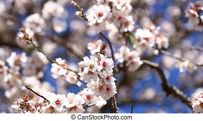 Almond branches in springtime - almond branches in...