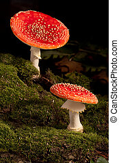 fly mushroom - two colorful fly mushrooms Amanita muscaria