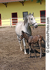 Lipizzaner horse and foal on ranch