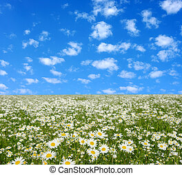 camomiles  - field of camomiles and blue cloudy sky