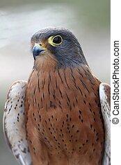 Rock Kestrel Raptor Bird