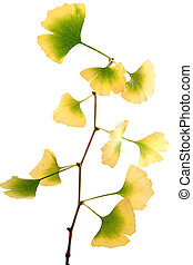 gingko biloba tree of life branch autumn colors isolated on...