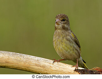 Young Greenfinch on the branch - Poland in JulyYoung...