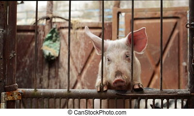 Young Pigs on Breeding Animal Farm - Young Pigs in Stable on...