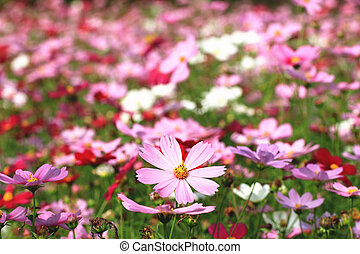 Cosmos flowers,pink and red Cosmos flowers blooming in the...