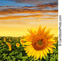 Sunflower field in the sunset. Spring landscape.
