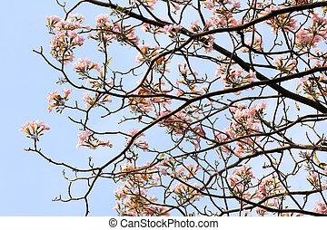 Tebebuia Flower Pink trumpet blooming, Tabebuia rosea