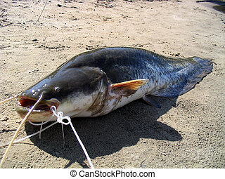 Huge catfish caught in the Volga River