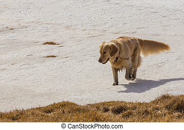 Golden retriever dog running on snow