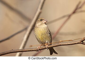 Greenfinch Carduelis chloris on a twig