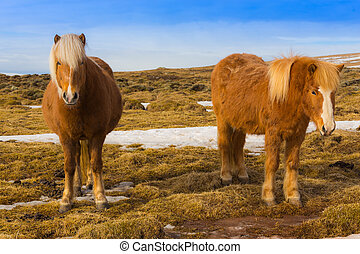 Twin Icelandic Horse - Icelandic Horse in dry glass field