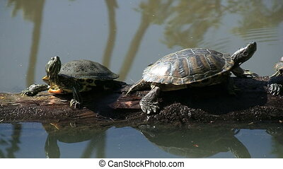 Two Turtles On Log - Two Turtles on log