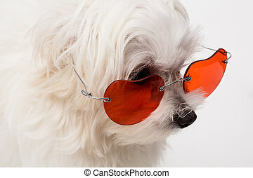 Maltese puppy - The maltese puppy dog on white background