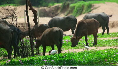 Buffaloes and herons on the Phuket island, Thailand